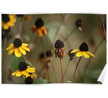 Thin-leaved Coneflower Poster