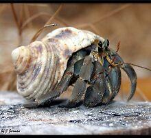 Thailand Crab Surin Islands by Jonathan  Jarman