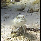 White Lizard fish, Red Sea , Eygpt by Jonathan  Jarman