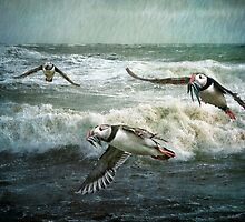 Puffins returning from the sea by Tarrby