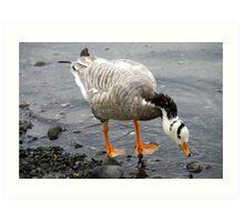 Bar Headed Goose - Esquimalt Lagoon Art Print