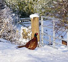 Pheasants in the snow by Traffordphotos