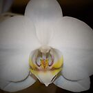 Snow White Orchid by Sherry Hallemeier