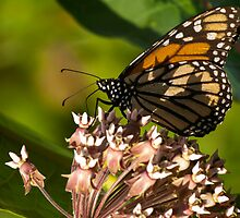Monarch and Milkweed 3 by Thomas Young