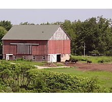 Cows in the barnyard Photographic Print