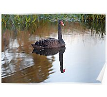 Black Swan. Keysborough Wetlands, Victoria, Australia. Poster