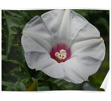 A Different Morning Glory - Wild Sweet Potato Poster