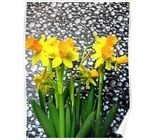 Daffodils with Black and White Poster
