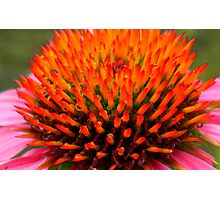 Coneflower with Raindrops Photographic Print