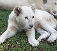 White Lion Cub by Carole-Anne