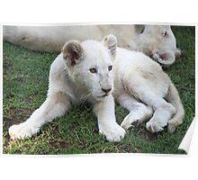 White Lion Cub Poster