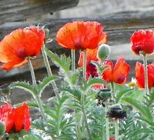 Oriental Poppies by © Betty E Duncan ~ Blue Mountain Blessings Photography
