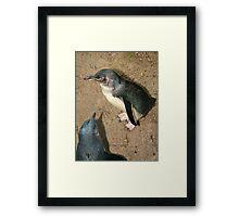 Little Blue Penguin Framed Print