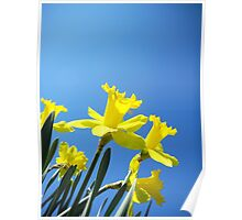 Daffodils in the Sky Poster
