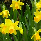 Group of Daffodils by CrystalFanning