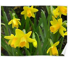 Group of Daffodils Poster