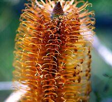 Golden Banksia by Renee Hubbard Fine Art Photography