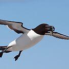 Razorbill In Flight by naturalnomad