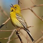 Pine Warbler Welcomes In Spring by Kathy Baccari
