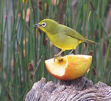 Cape White eye enjoying breakfast! by Elizabeth Kendall