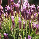 Lavender Lavendar by robertemerald