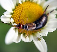 the earwig and the aphid by gruntpig