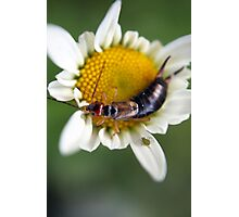 the earwig and the aphid Photographic Print
