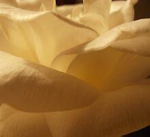 Parchment Petals, Rose, Tumut, Australia. by kaysharp
