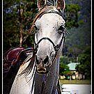 MacDonald Park Country Bond, Endurance horse by SylanPhotos