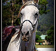MacDonald Park Country Bond, Endurance horse by SylanPhotos