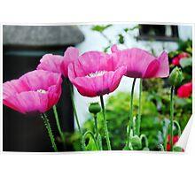 Cottage Garden Poppies Poster