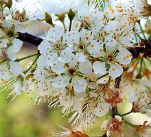 Tree blossoms by ♥⊱ B. Randi Bailey