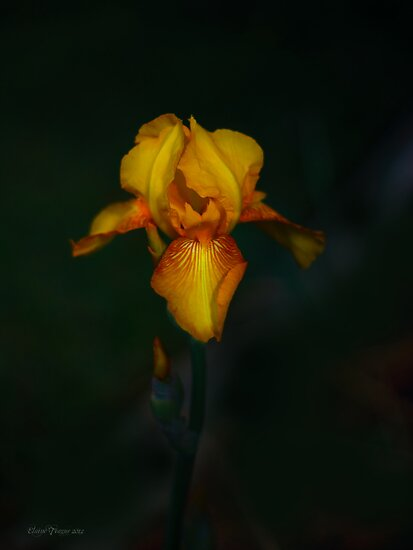 Yellow Iris by Elaine Teague