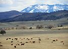 Cattle Country by BettyEDuncan