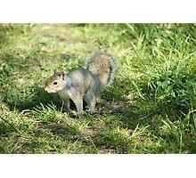 Scotlands Grey Squirrel Photographic Print