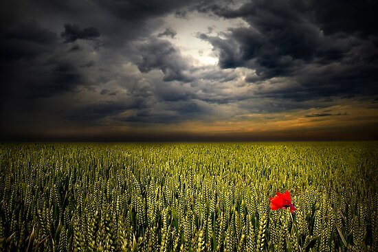 The Lone Poppy by timpr