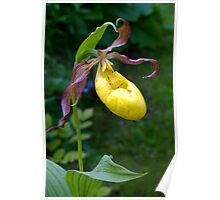 Lady's-slipper-orchid Poster