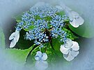 Baby Blue Lace Cap Hydrangea by MotherNature