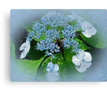 Baby Blue Lace Cap Hydrangea Canvas Print