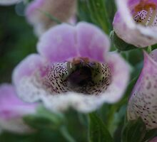 White tail Bumble Bee and (Digitalis) Foxglove by youmeus