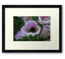 White tail Bumble Bee and (Digitalis) Foxglove Framed Print