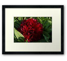 Red Peonyrose Scotland Framed Print