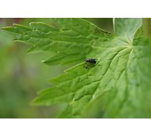 Lily Bettle  Photographic Print