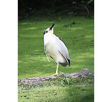 Black crowned night heron yoga pose Photographic Print