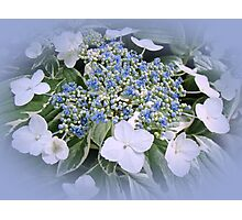 Variegated Lace Cap Hydrangea - Blue and White Photographic Print