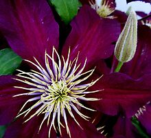 Clematis Bloom in CT by Debbie Robbins