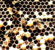 Honey Bees Under Threat by missmoneypenny