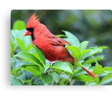 The Red Bird  Out Front # 4 Canvas Print