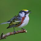 Chestnut sided warbler by Daniel  Parent