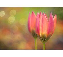 Species Tulips Photographic Print